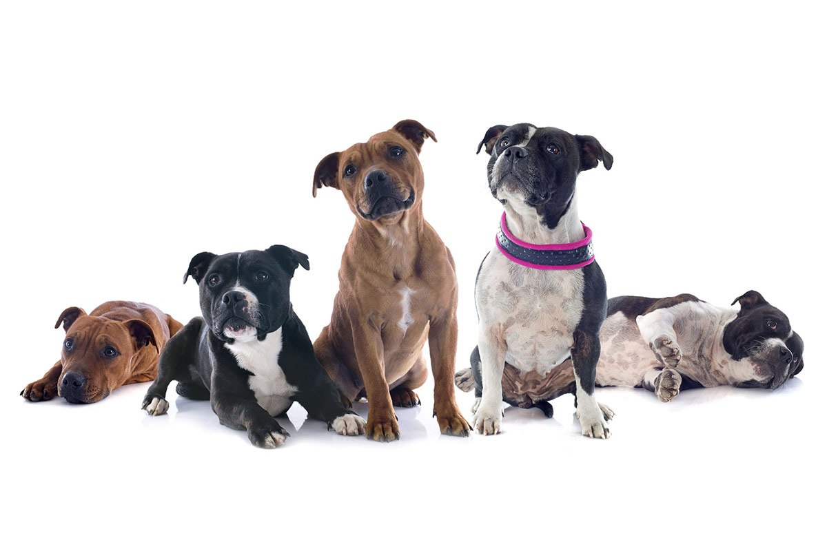 Group of Staffordshire Bull Terriers