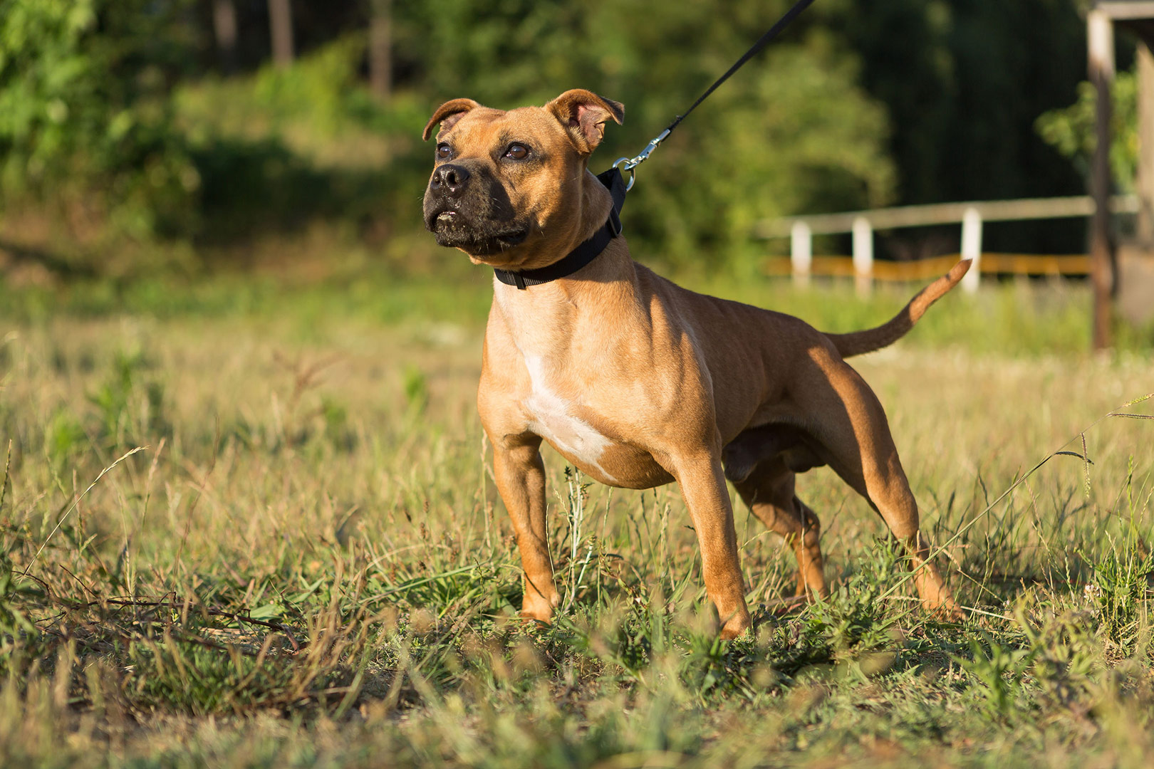 Staffordshire Bull Terrier out for a walk