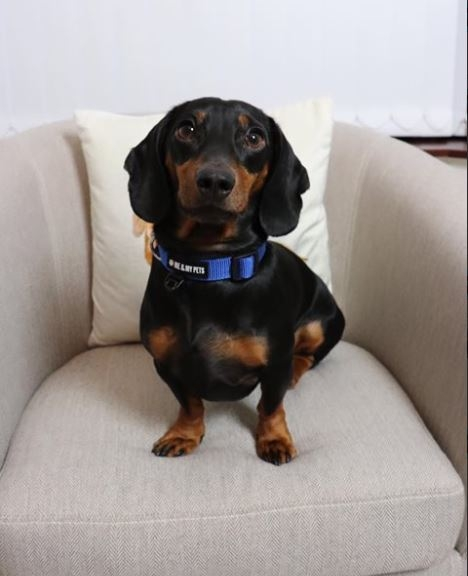Dachshund-On-Sofa