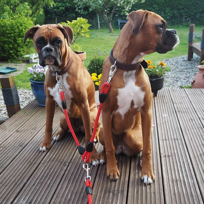 Dogs with dog splitter lead
