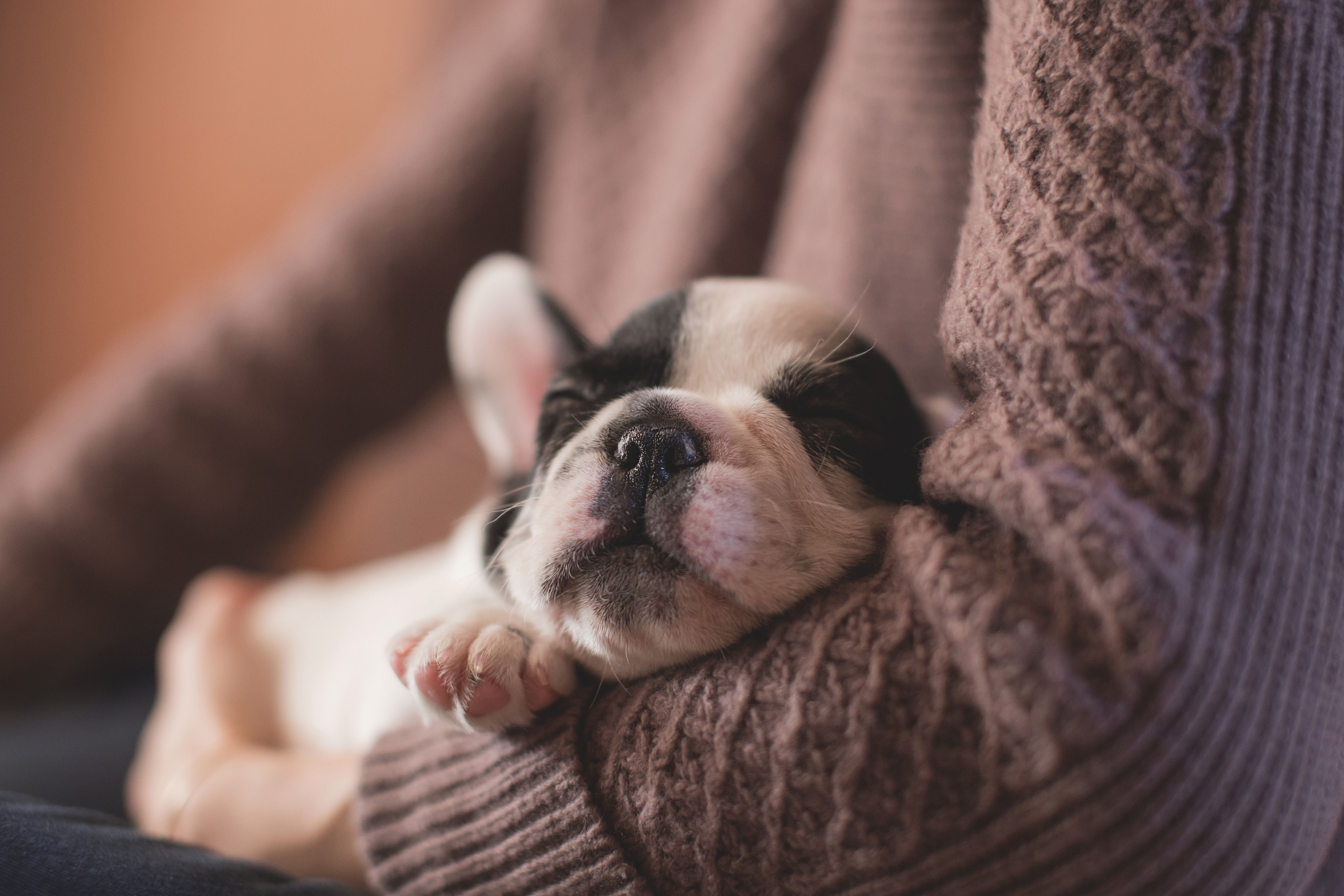 gorgeous french bulldog puppy with black and white print asleep in owners arms