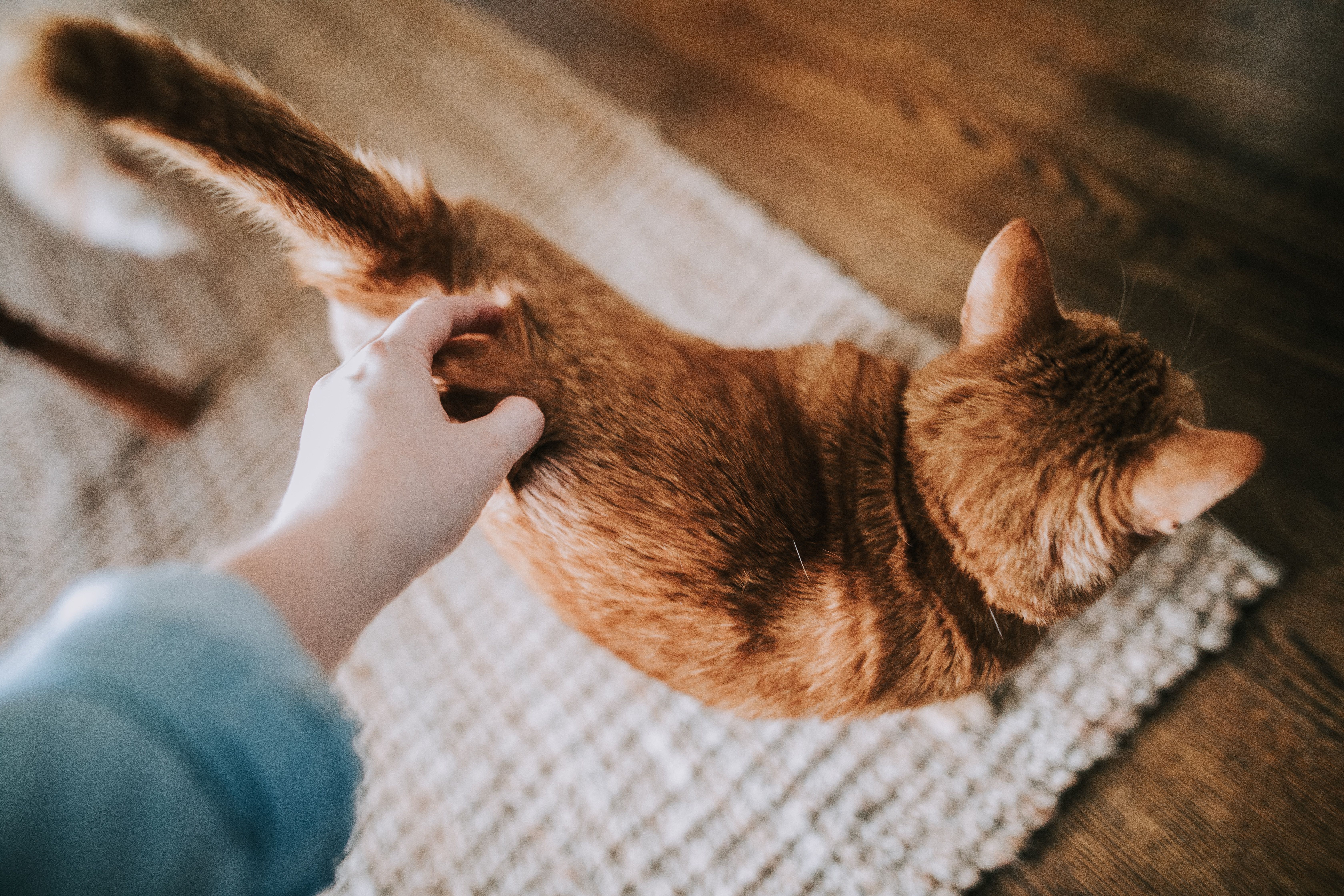cute ginger cat being stroked by its owner