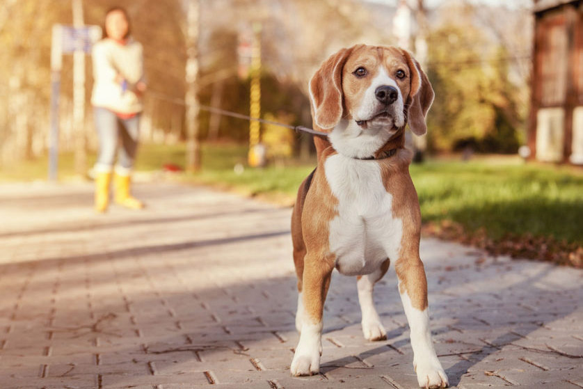 gorgeous beagle dog on a walk on a lead