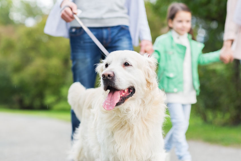 golden retriever on a walk on a lead with its owner