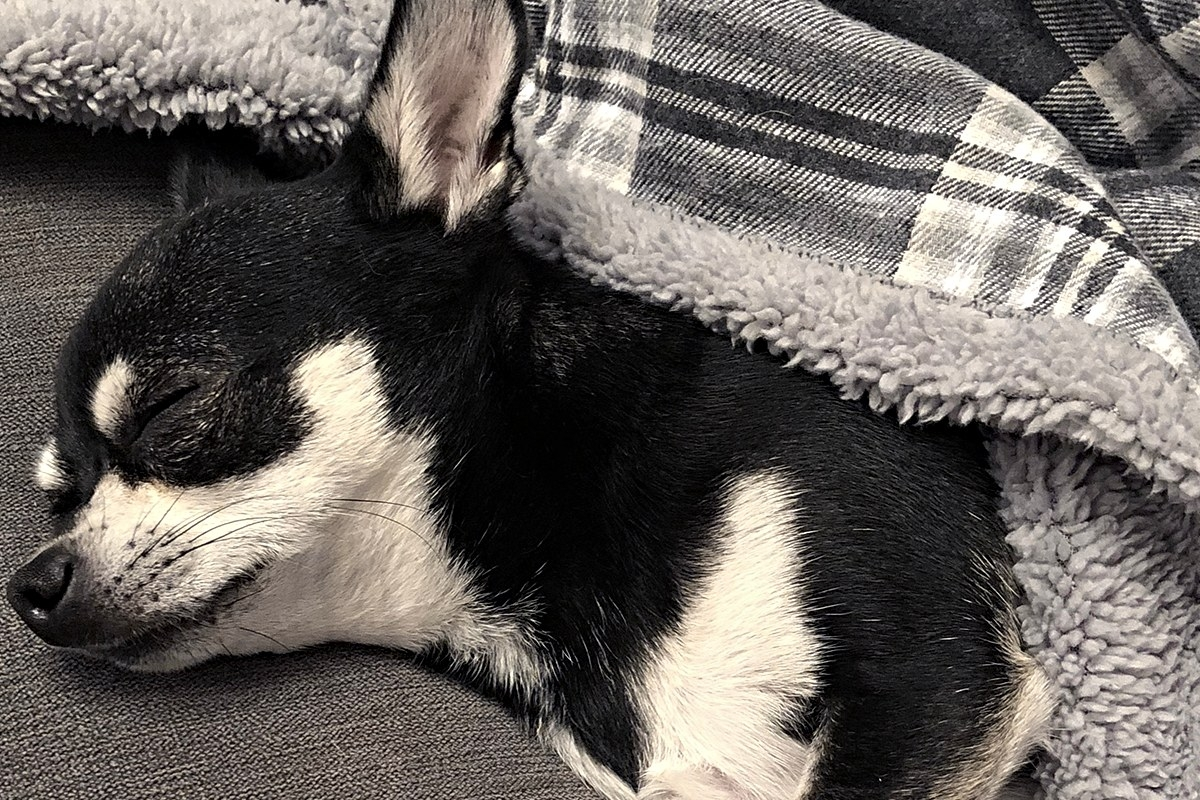 tiny black and white Chihuahua wrapped in a grey check fleece blanket