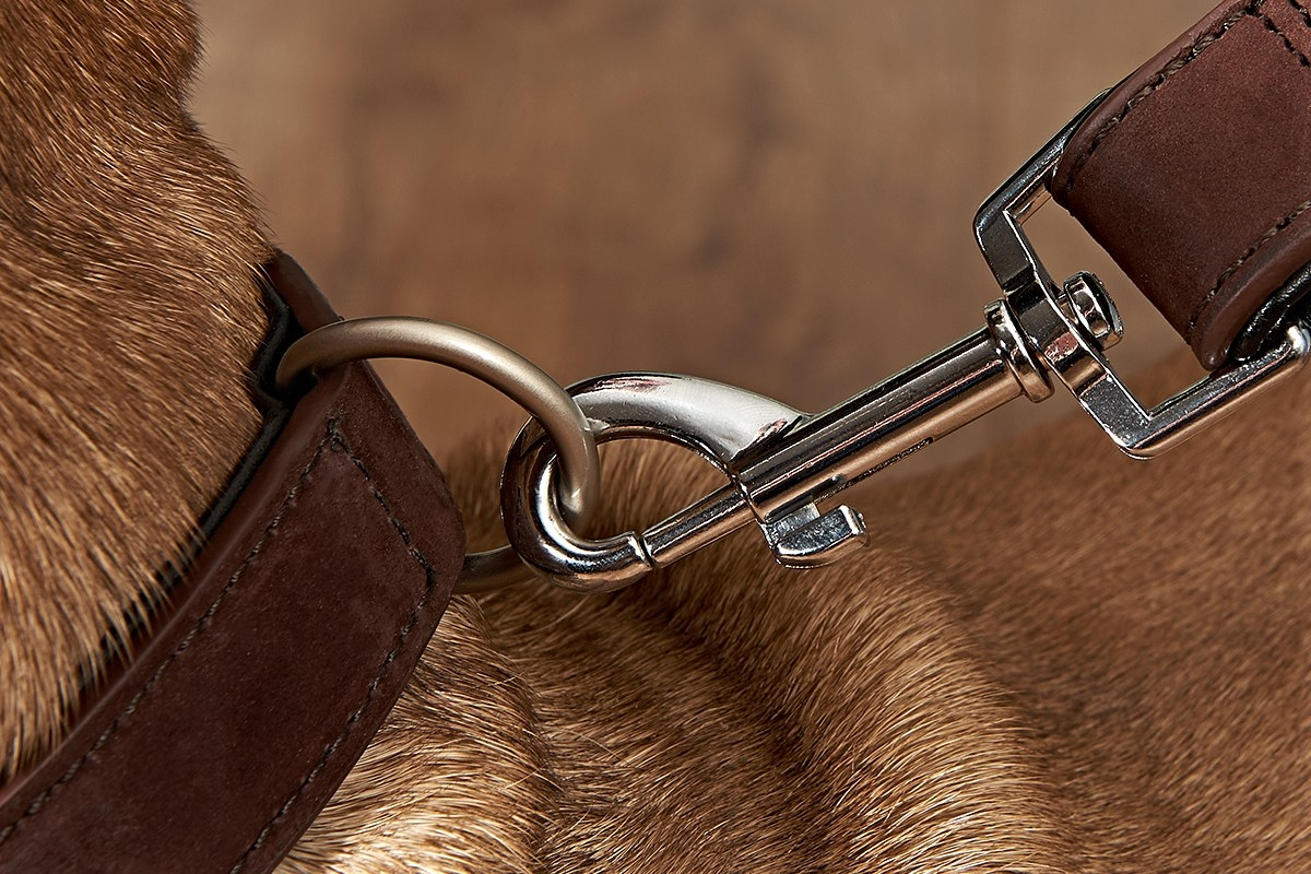 tan french bulldog wearing matching leather collar and leather lead