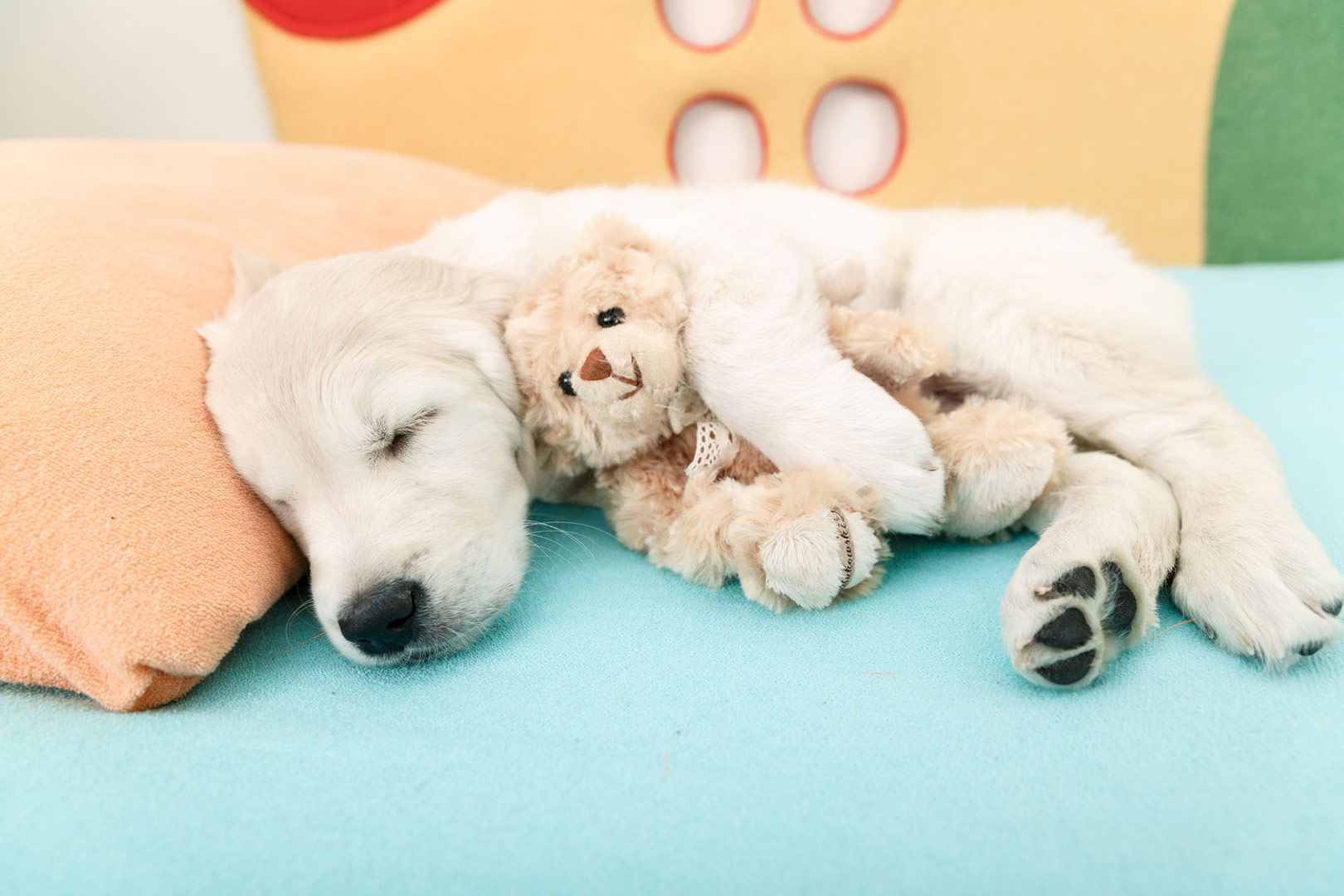Me-My-Pets-blog-getting-a-puppy-picture-of-a-puppy-with-a-toy-asleep