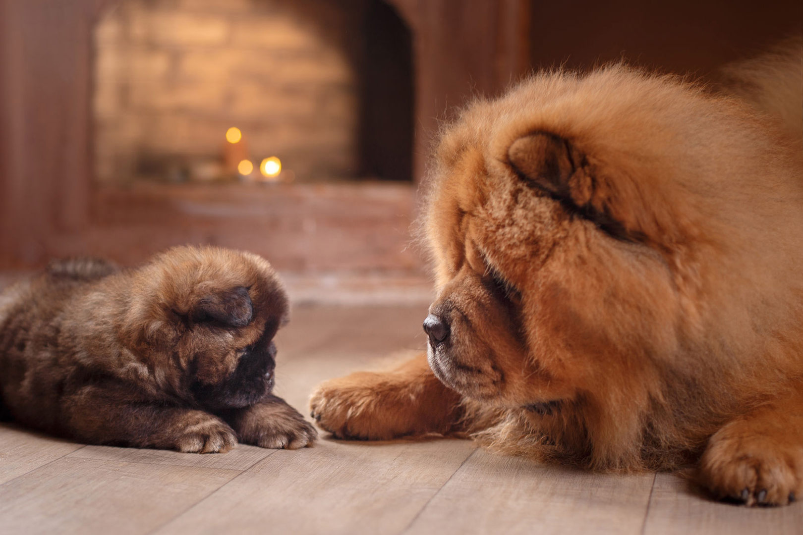 Me-My-Pets-blog-getting-a-puppy-picture-of-an-adult-chow-chow-and-a-puppy-chow-chow
