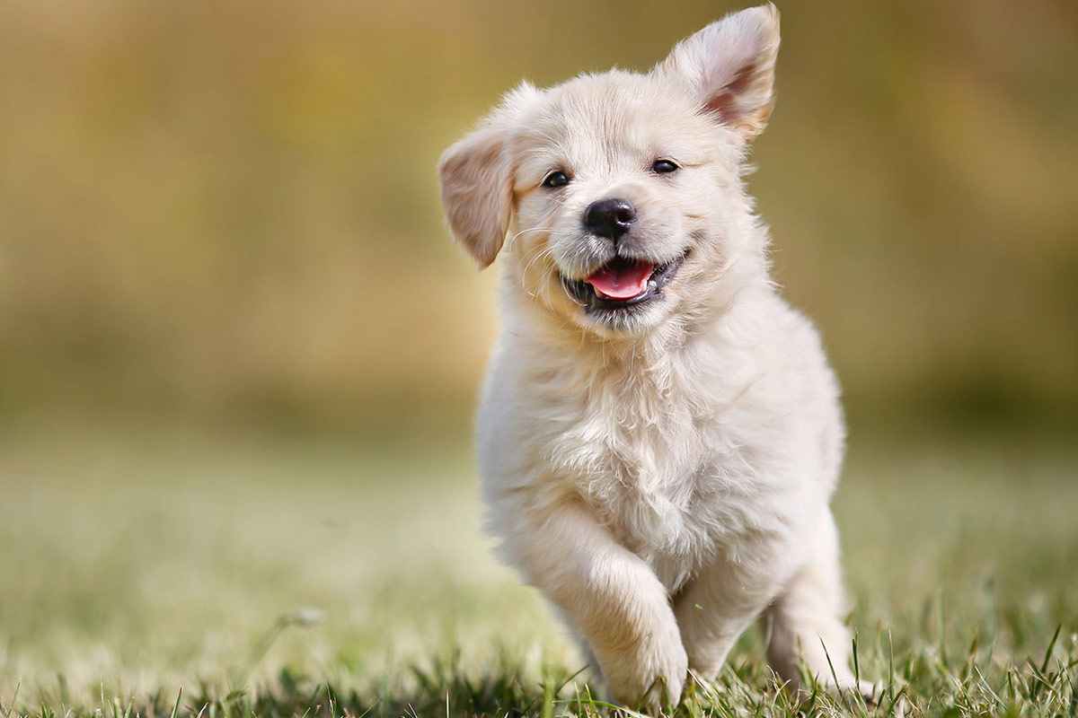 image-of-labrador-puppy-running-outside