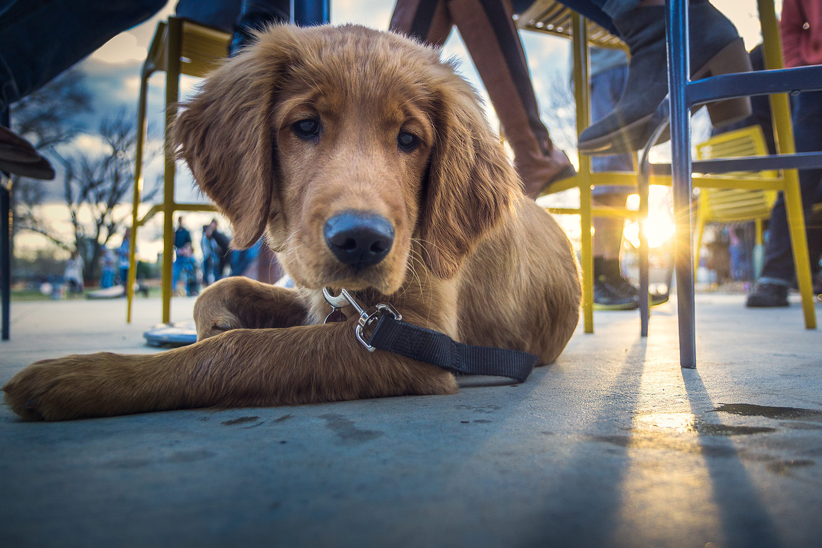 adorable-labrador-puppy-on-a-lead-sitting-under-the-table-at-an-outdoor-cafe