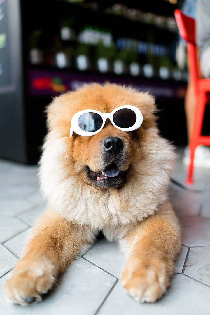beautiful fluffy chow chow dog with white sunglasses on