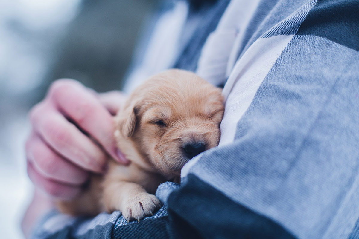super cute golden retriever puppy asleep in his owners arms