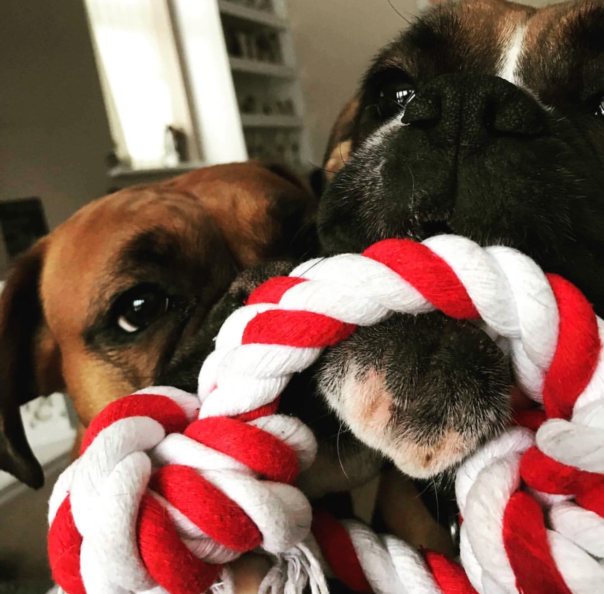 boxer dogs playing with a red and white rope toy