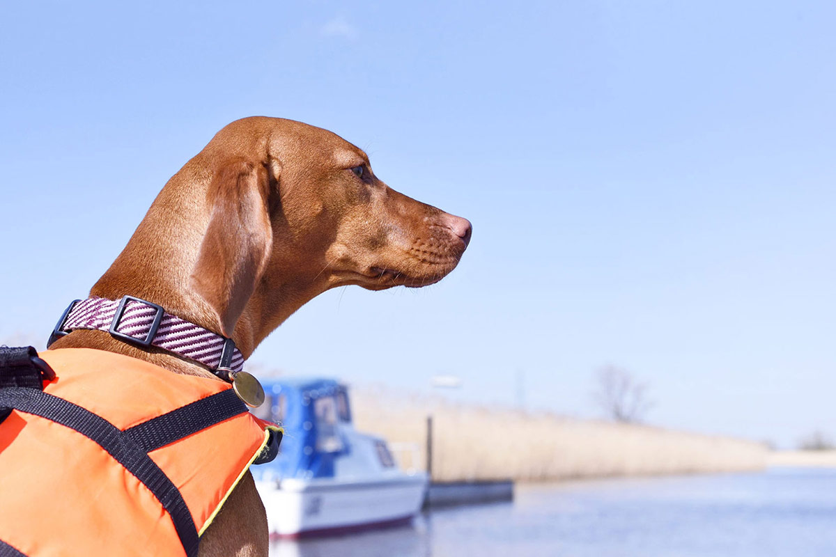 stunning red labrador with a life jacket on sitting on a boat
