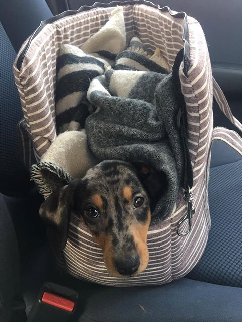 enzo-the-dachshund-in-pet-carrier-travel-bag-in-the-car