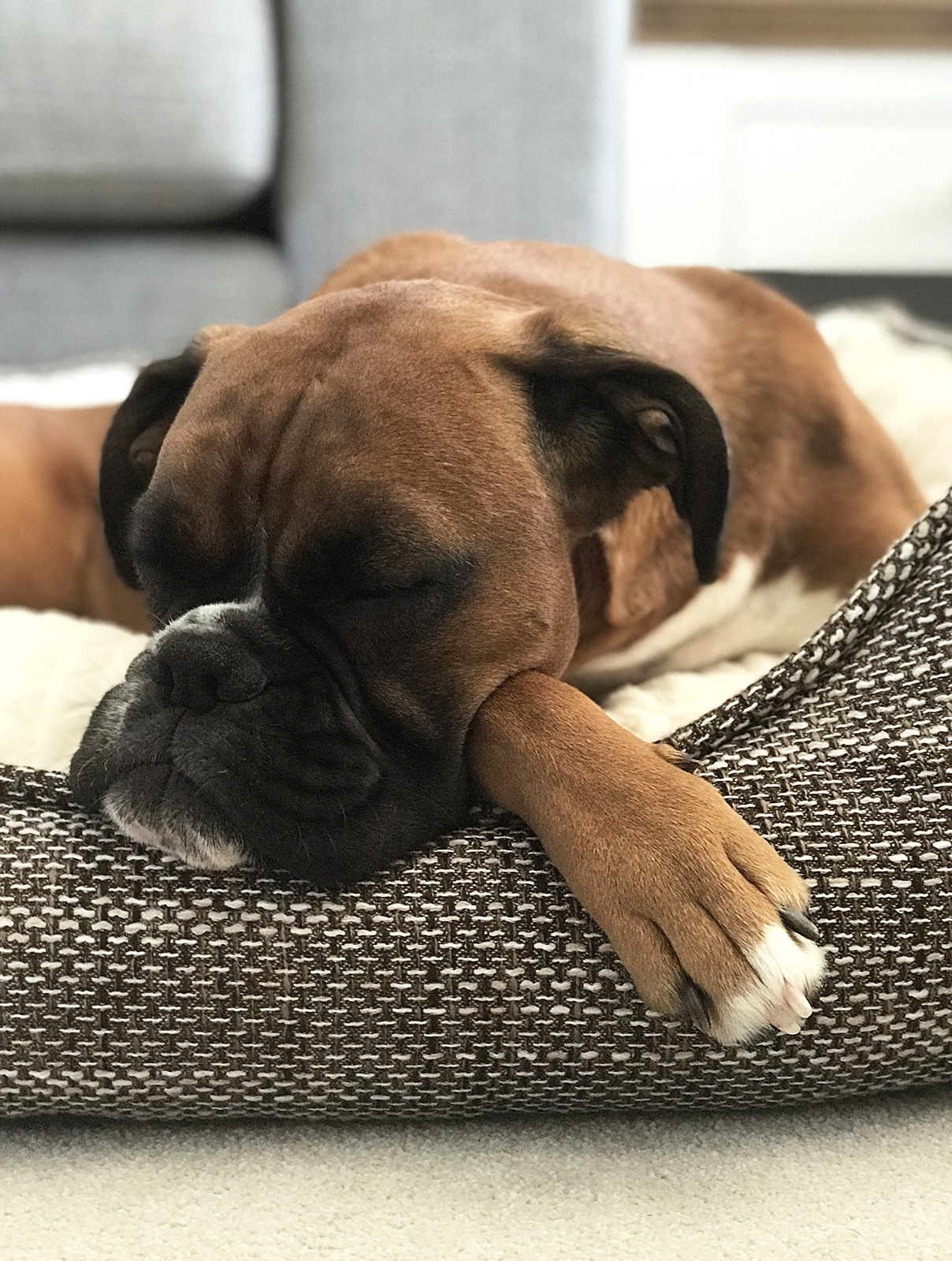 beautiful boxer dog asleep on a tweed style bed