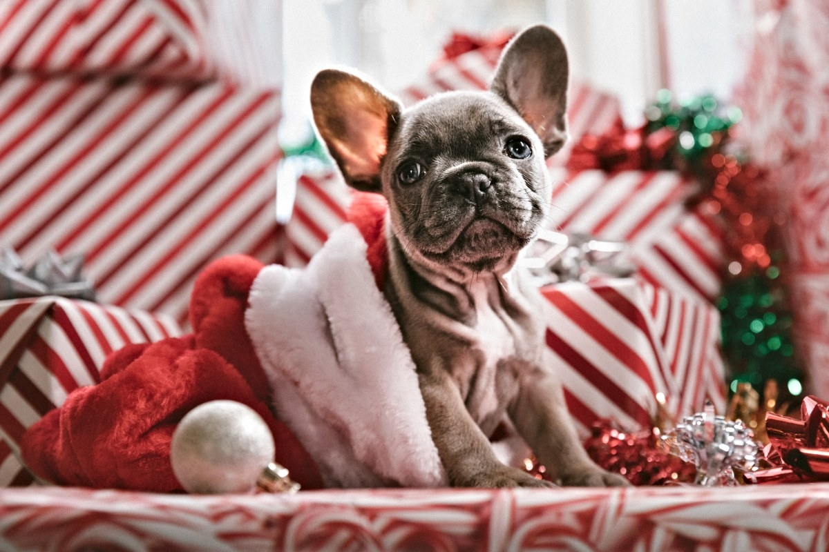 gorgeous blue french bulldog amongst a load of christmas wrapping