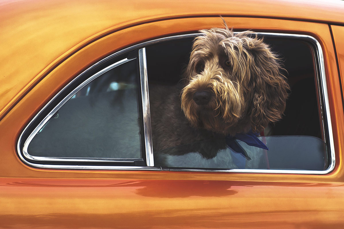 gorgeous brown fluffy dog with head sticking out of bright orange car