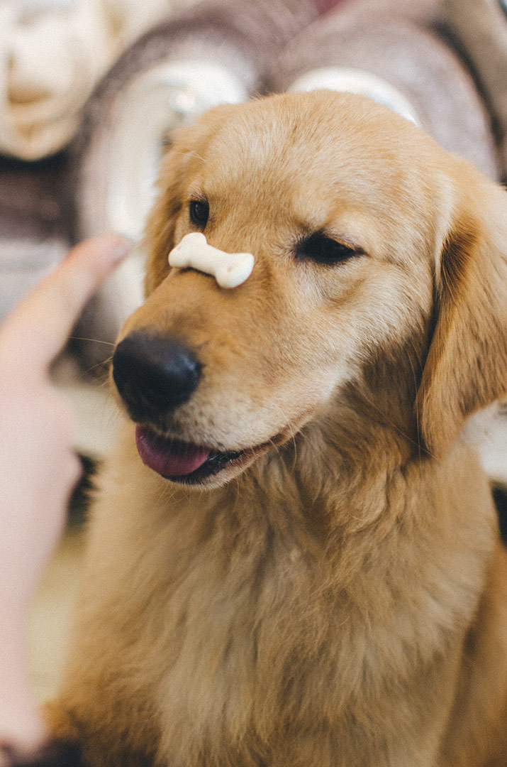 stunning golden retriever dog with a gravy bone treat resting on his nose