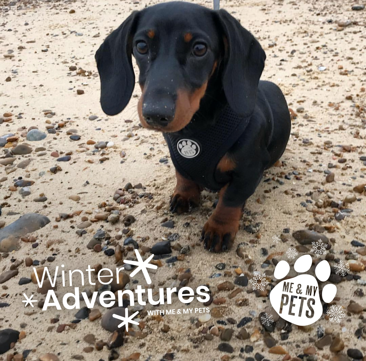 gorgeous puppy dachshund in black and tan wearing a black mesh vest harness while at a pebbled beach