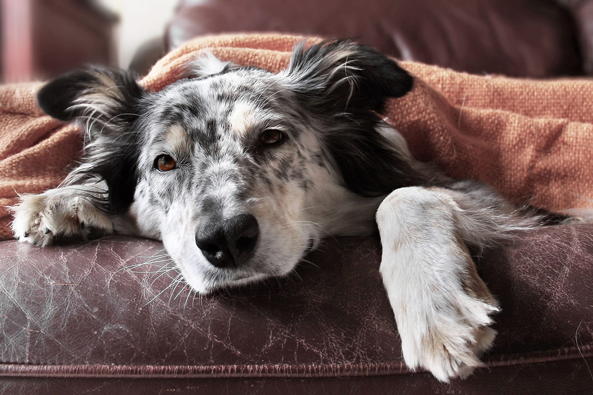 older-dog-settling-into-bed-with-a-blanket-on-the-sofa