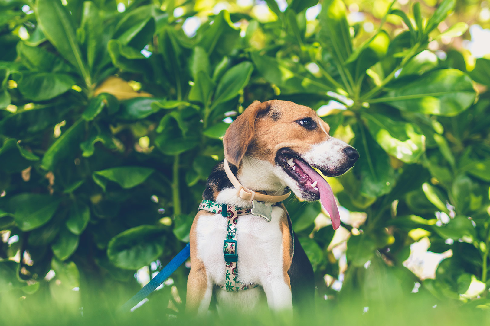 young beagle puppy with his tongue out in the garden sitting with a harness and lead on