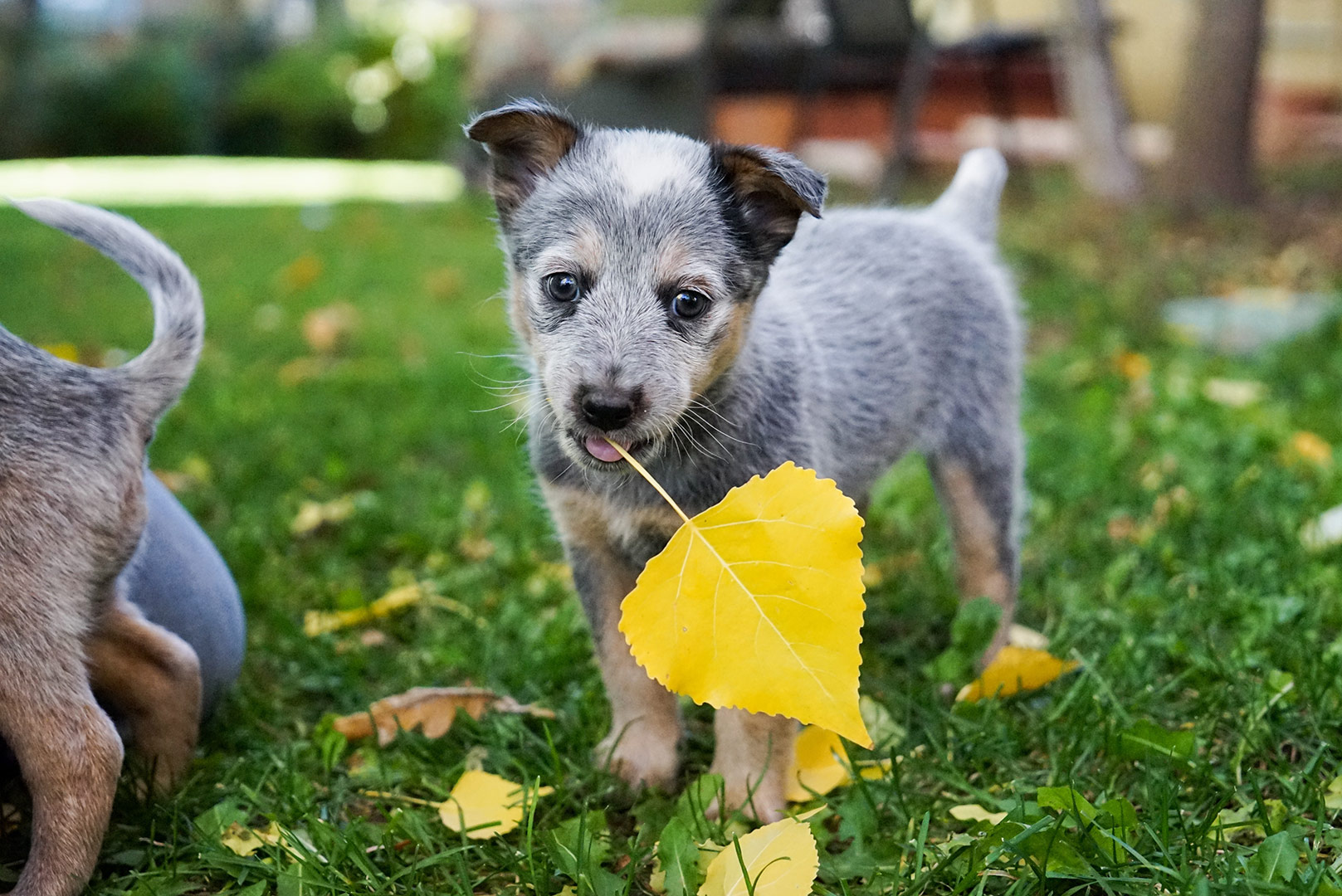 small-cute-grey-puppy-on-a-field-of-flowers-for-a-walk