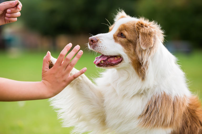 gorgeous and happy dog high fiving it's owner