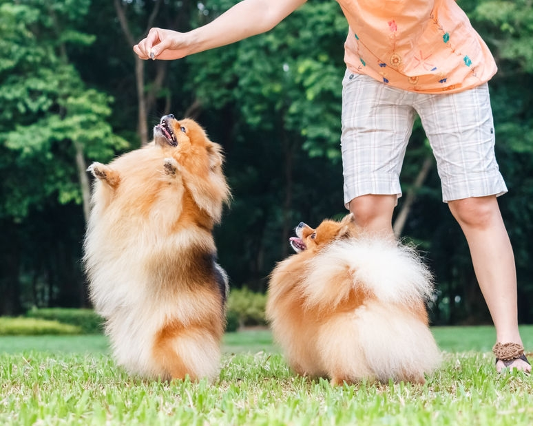 two fluffy pomeranian dogs standing on back legs for treats