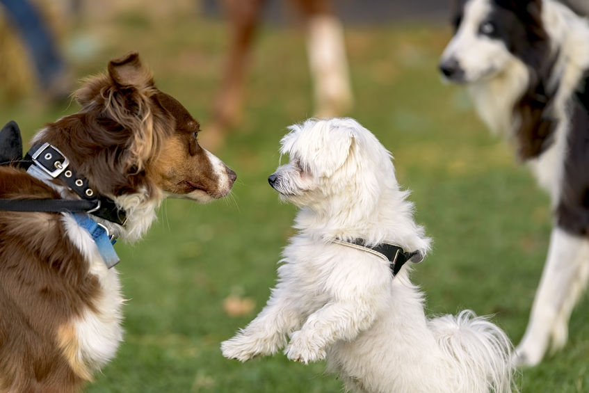 collie dog meeting two other dogs at the park whilst on the lead