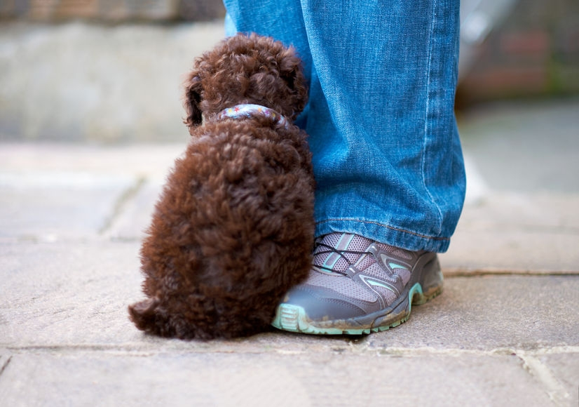 tiny brown curly puppy sitting on its owners feet