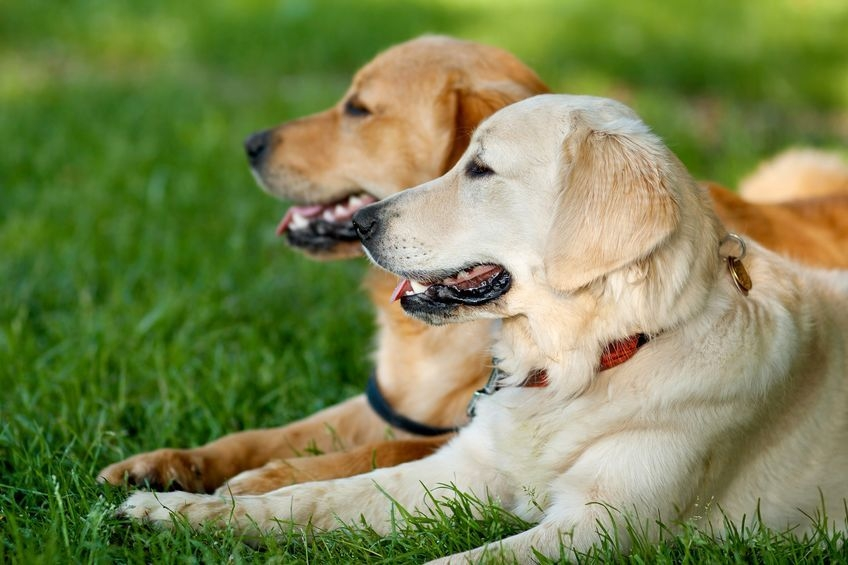 two stunning golden retriever dogs lying on the ground together smiling