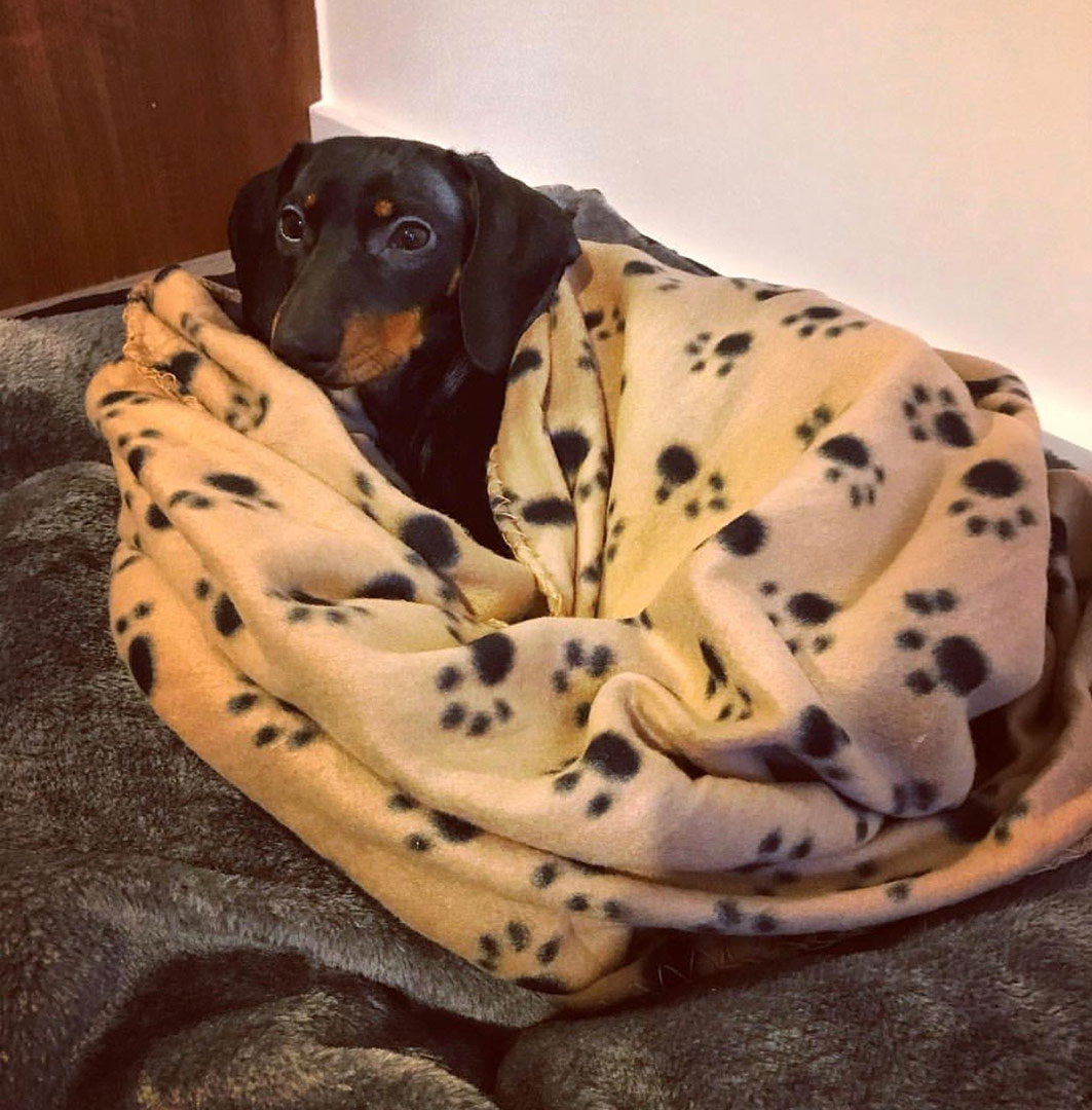 willow-the-dachshund-wrapped-up-in-her-paw-print-fleece-blanket