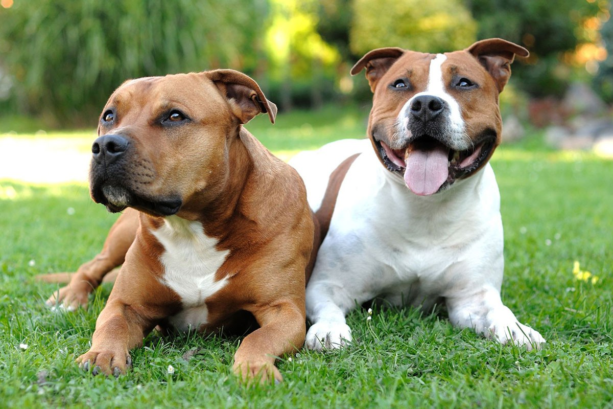 Senior Staffordshire bull terriers on grass