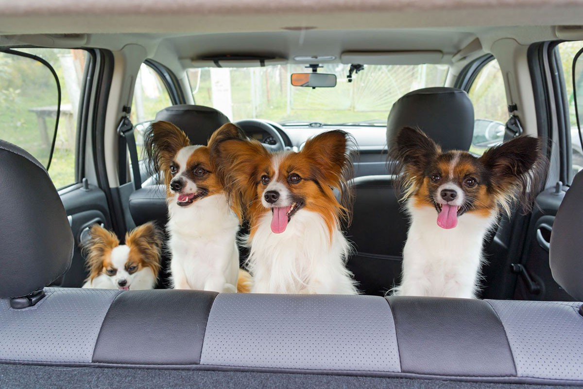Dogs-in-the-car