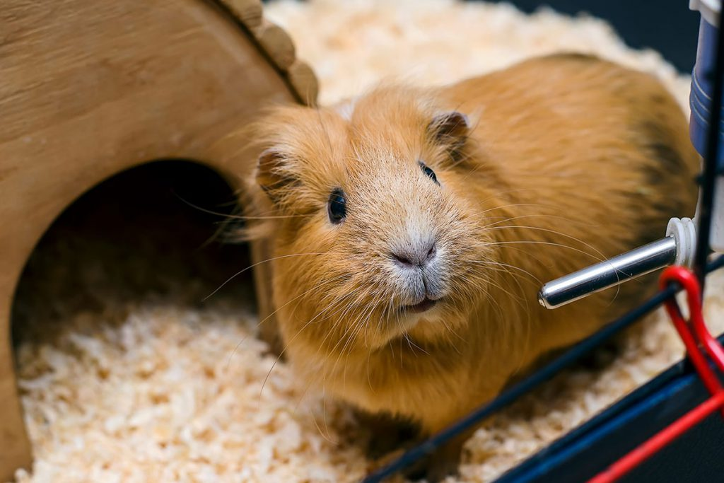 Guinea-pig-with-water-bottle