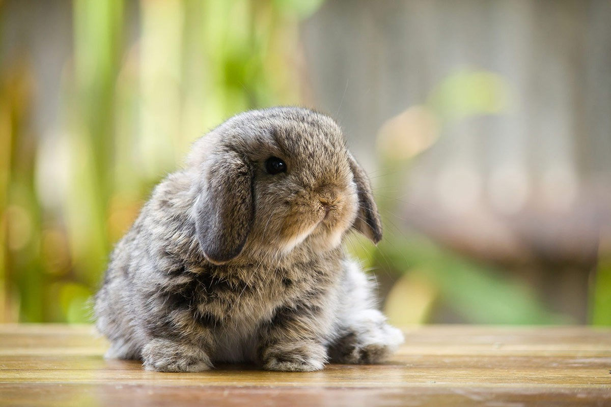 image-of-a-fluffy-grey-rabbit