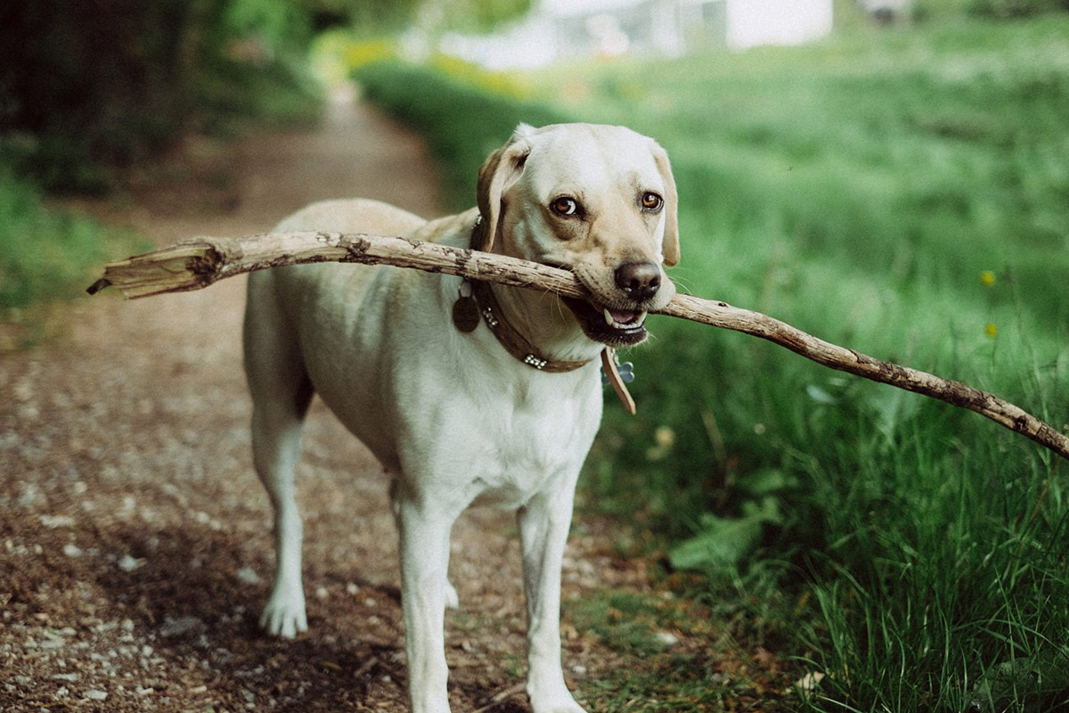 beautiful golden labrador with a huge stick in its mouth