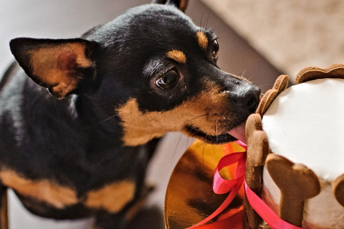 gorgeous black and tan small dog being licking a dog friendly cake