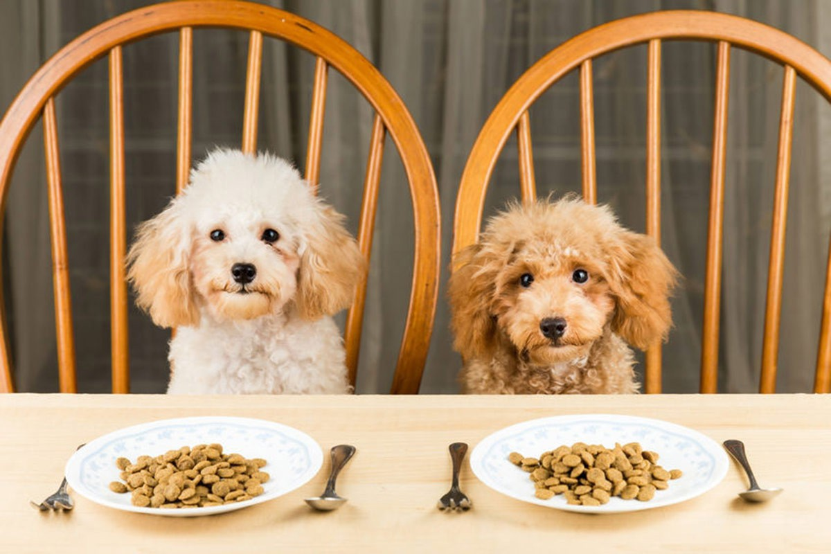 gorgeous poodle dogs sitting on dining room chairs at a table with plates and food