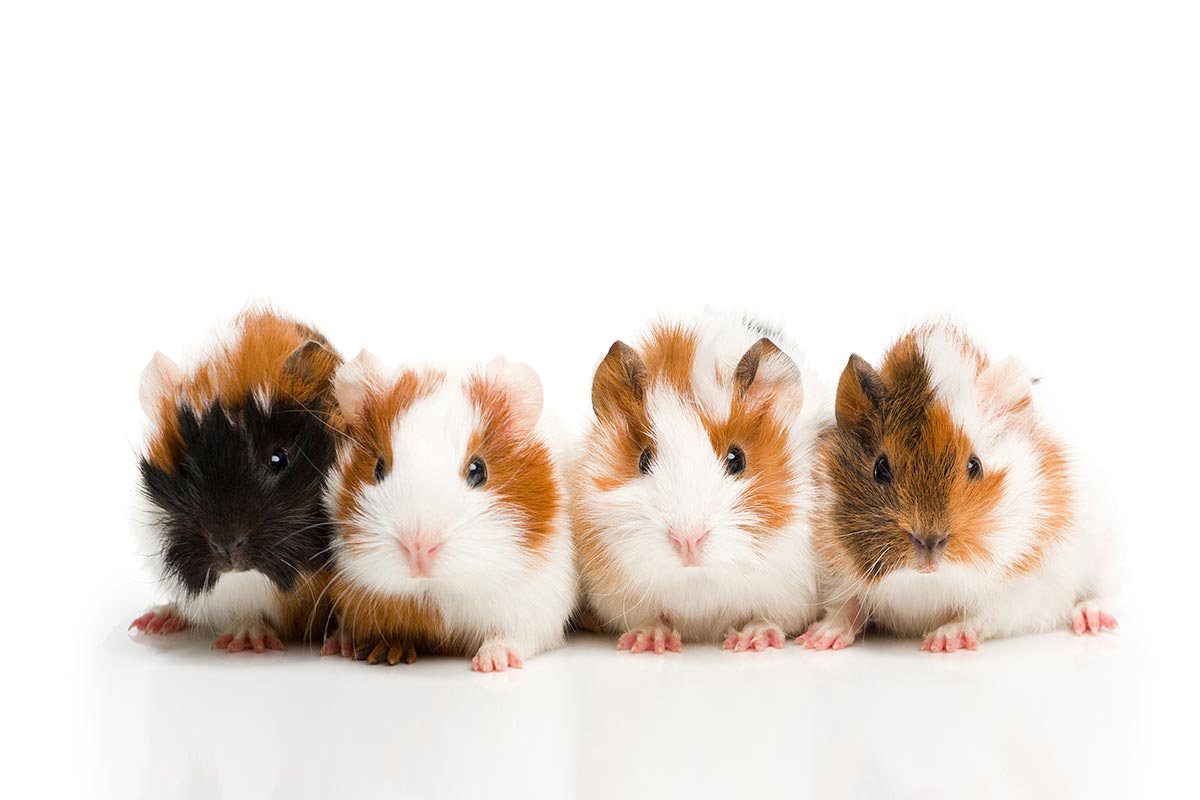What Do I Need To Get Started With A Guinea Pig?