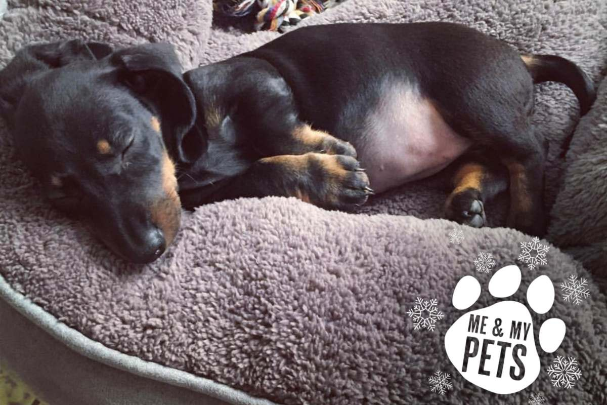 gorgeous dachshund puppy called mia fast asleep on her fluffy grey donut pet bed